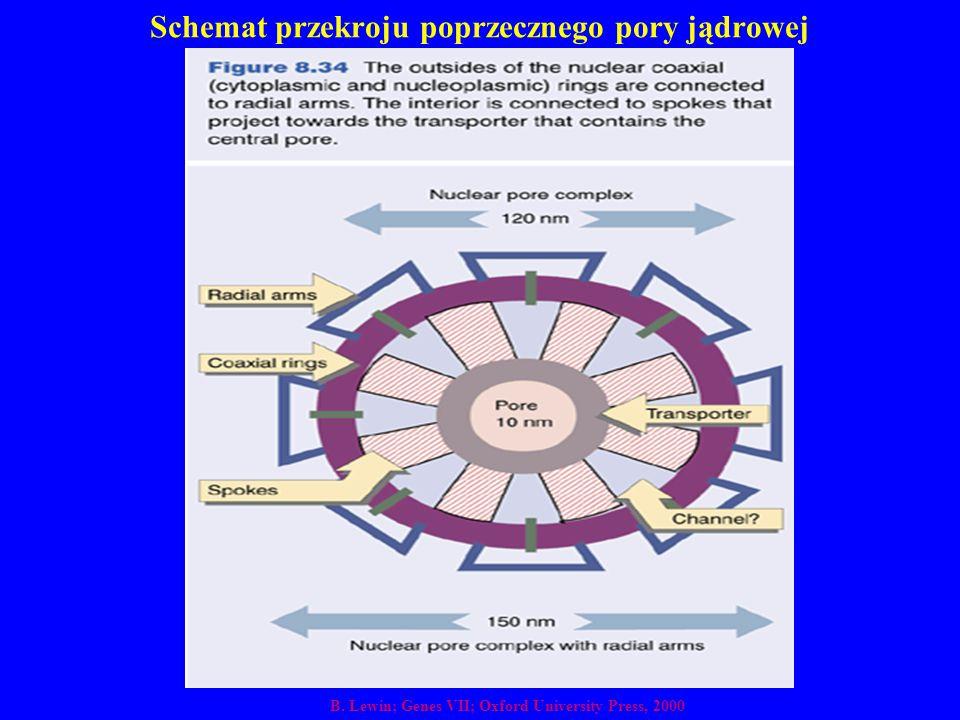Schemat przekroju poprzecznego pory jądrowej