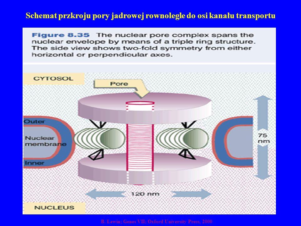 Schemat przkroju pory jadrowej rownolegle do osi kanału transportu