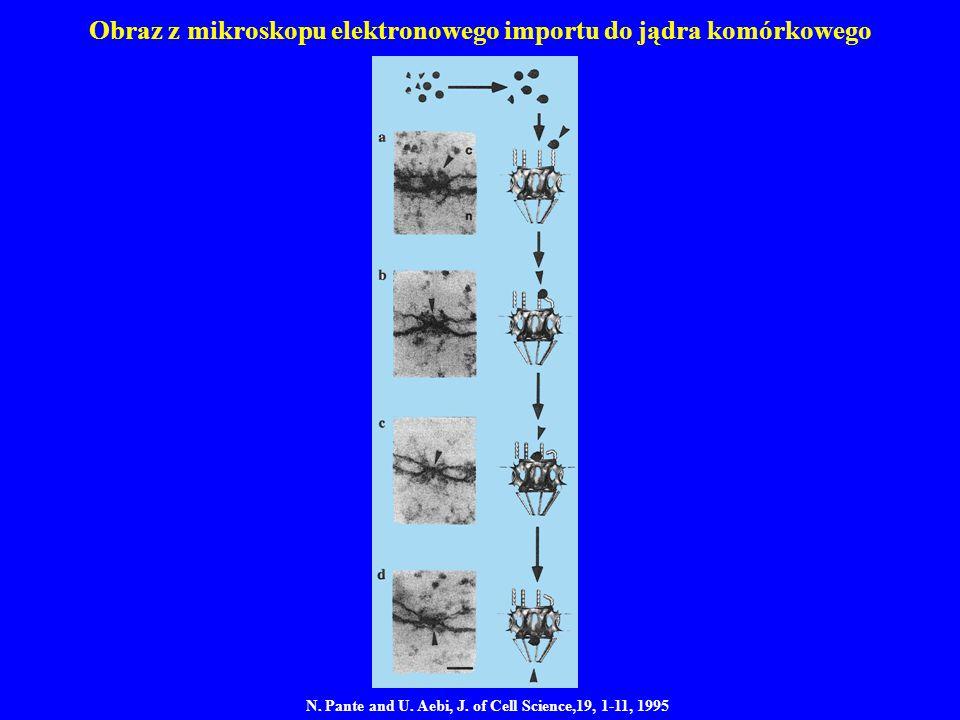 Obraz z mikroskopu elektronowego importu do jądra komórkowego