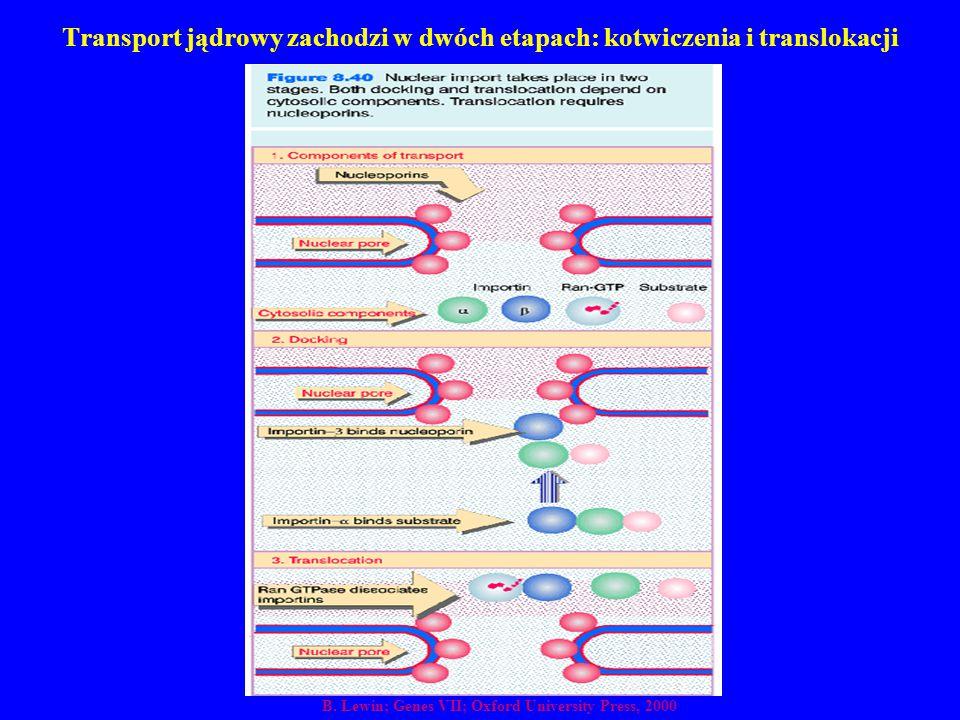 Transport jądrowy zachodzi w dwóch etapach: kotwiczenia i translokacji