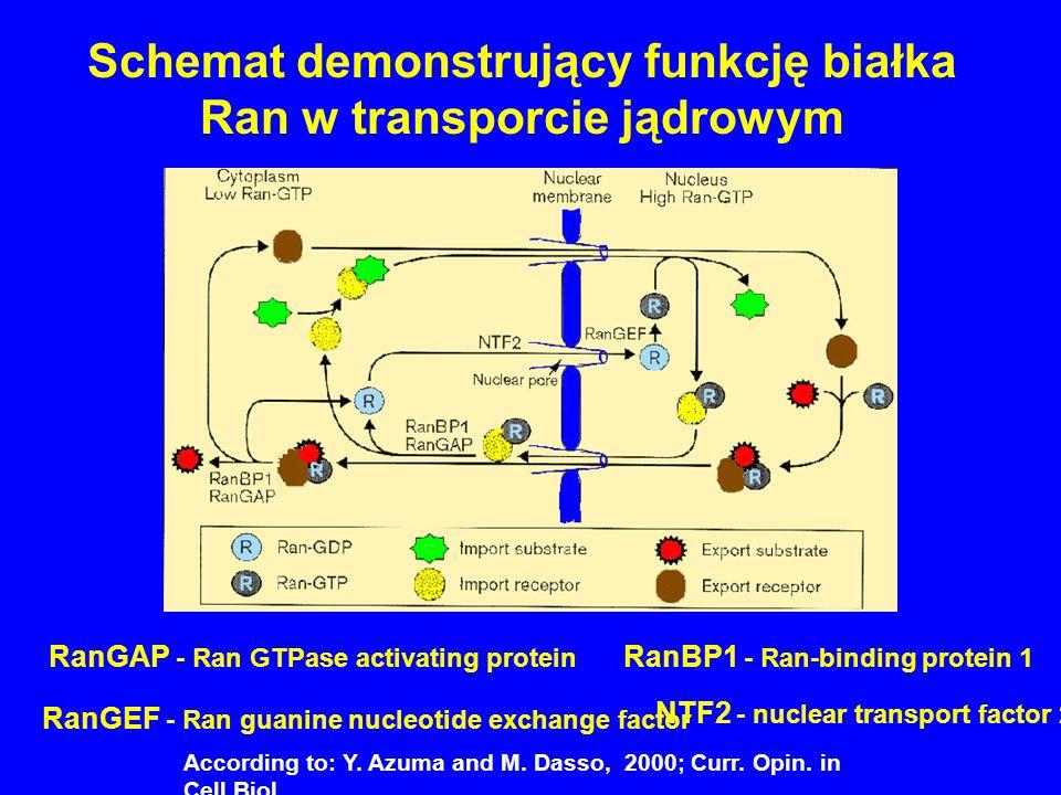 Schemat demonstrujący funkcję białka Ran w transporcie jądrowym