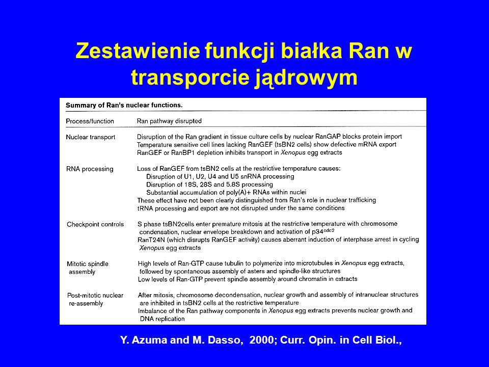 Zestawienie funkcji białka Ran w transporcie jądrowym