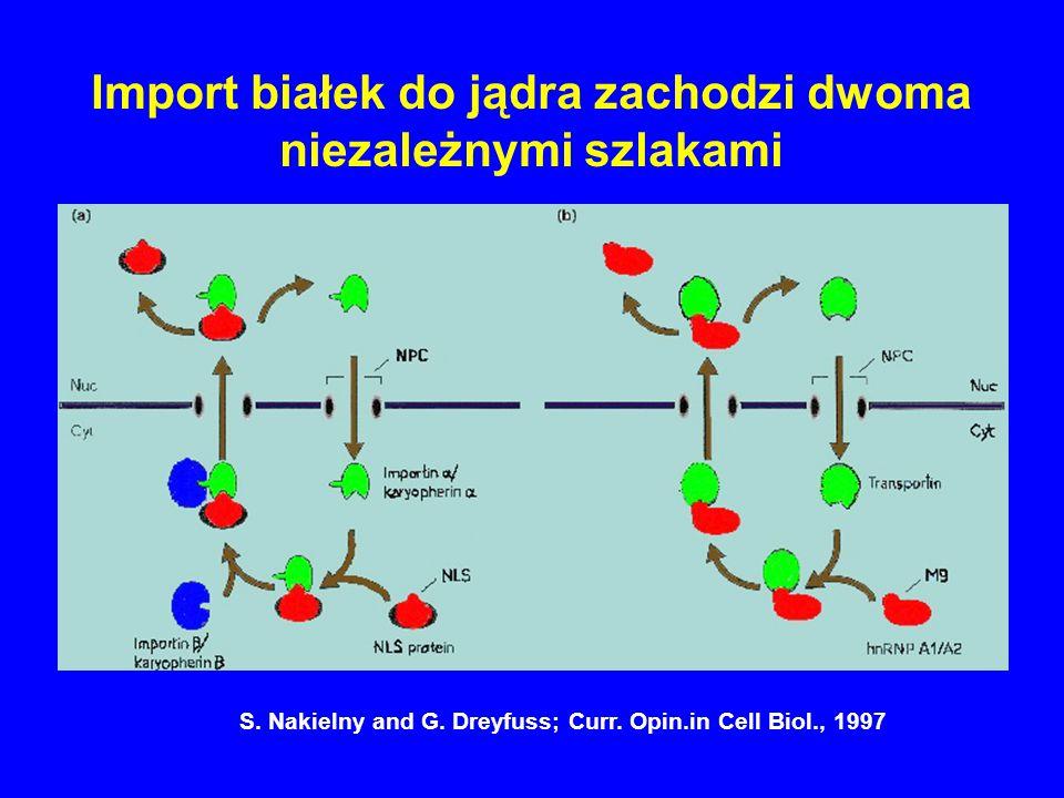 Import białek do jądra zachodzi dwoma niezależnymi szlakami