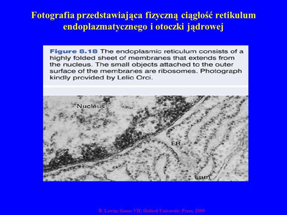 Fotografia przedstawiająca fizyczną ciągłość retikulum endoplazmatycznego i otoczki jądrowej