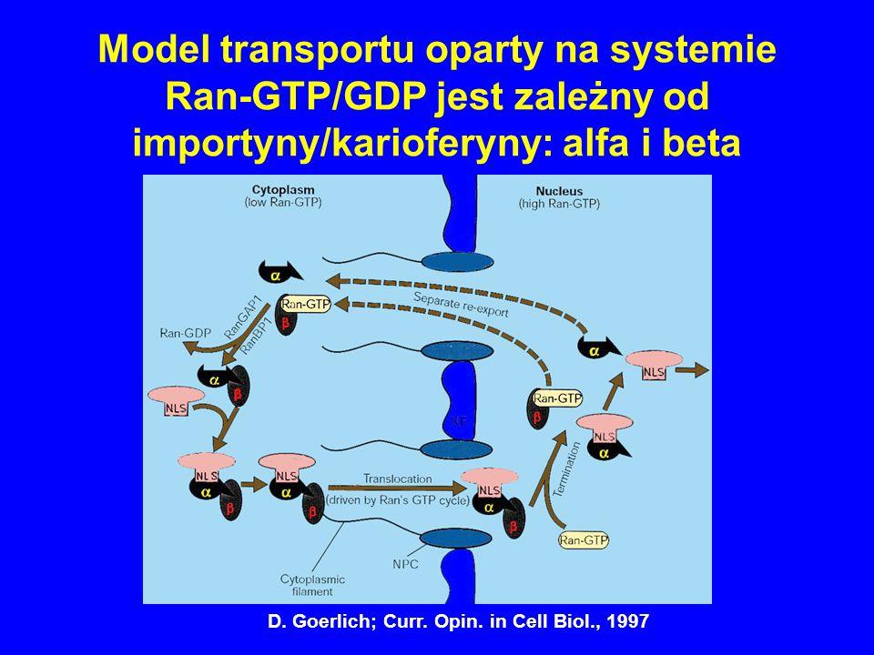 Model transportu oparty na systemie Ran-GTP/GDP jest zależny od importyny/karioferyny: alfa i beta