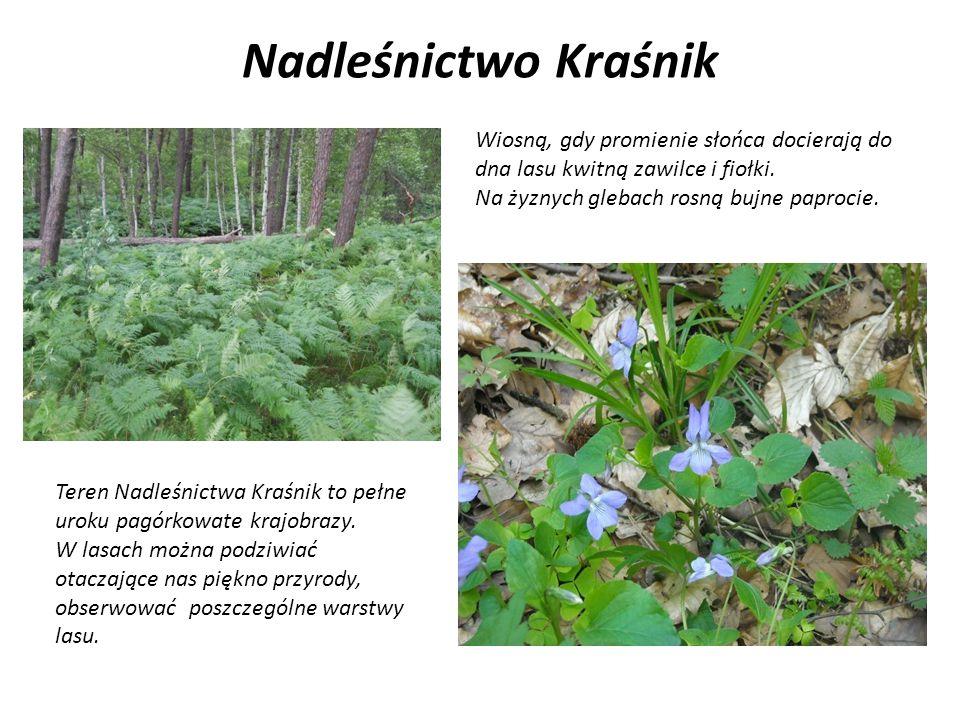 Nadleśnictwo Kraśnik Wiosną, gdy promienie słońca docierają do dna lasu kwitną zawilce i fiołki. Na żyznych glebach rosną bujne paprocie.