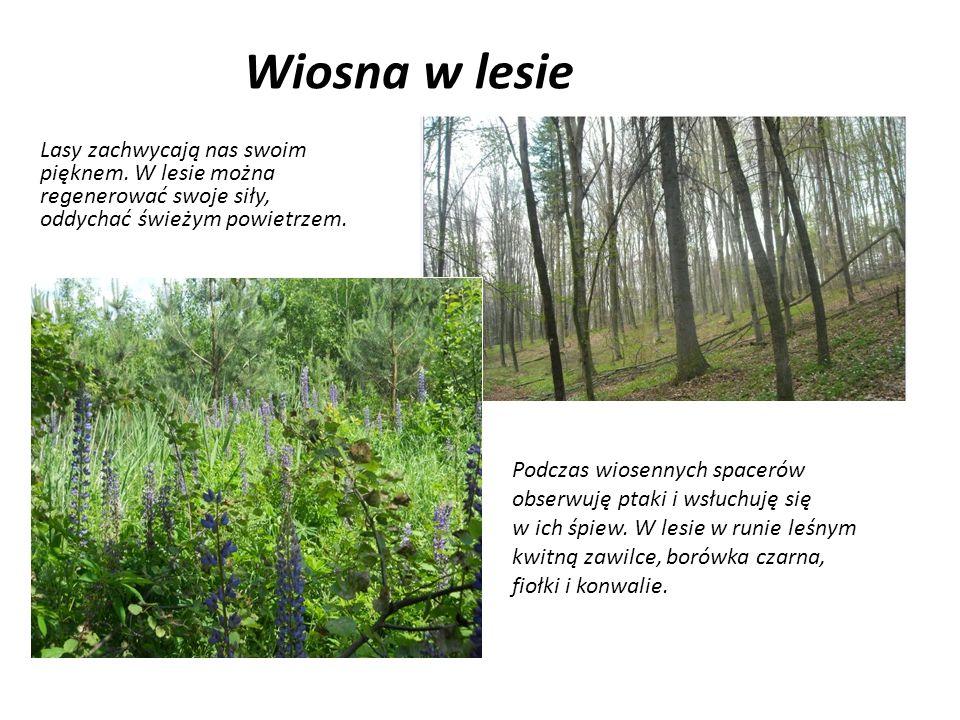 Wiosna w lesie Lasy zachwycają nas swoim pięknem. W lesie można regenerować swoje siły, oddychać świeżym powietrzem.