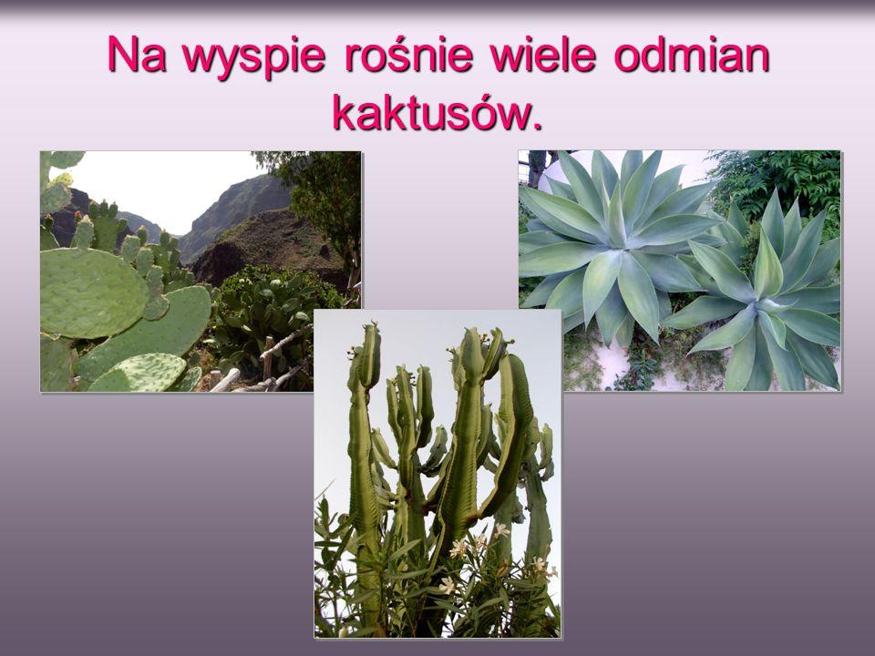 Na wyspie rośnie wiele odmian kaktusów.