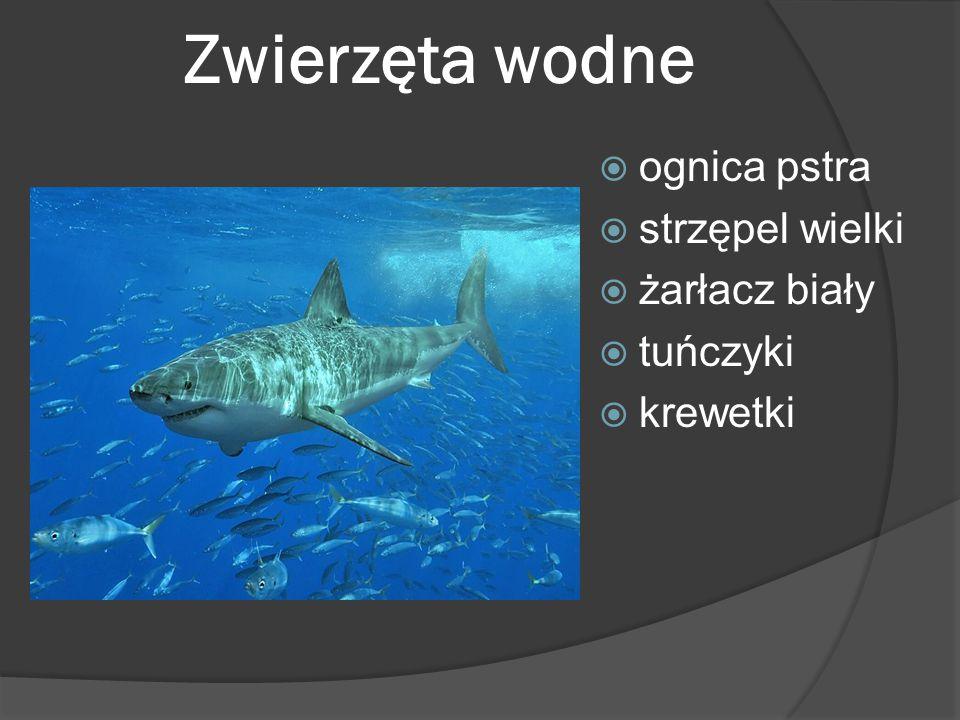 Zwierzęta wodne ognica pstra strzępel wielki żarłacz biały tuńczyki