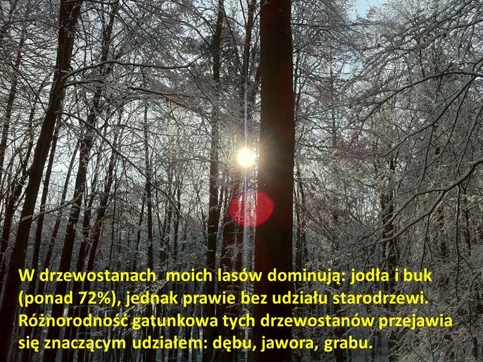 W drzewostanach moich lasów dominują: jodła i buk (ponad 72%), jednak prawie bez udziału starodrzewi.
