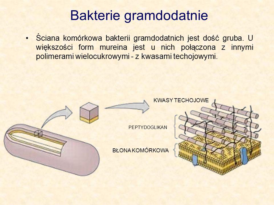 Bakterie gramdodatnie