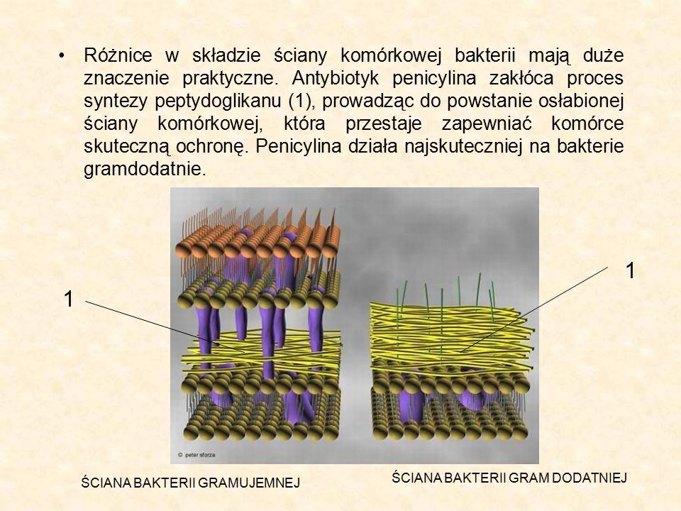 Różnice w składzie ściany komórkowej bakterii mają duże znaczenie praktyczne. Antybiotyk penicylina zakłóca proces syntezy peptydoglikanu (1), prowadząc do powstanie osłabionej ściany komórkowej, która przestaje zapewniać komórce skuteczną ochronę. Penicylina działa najskuteczniej na bakterie gramdodatnie.