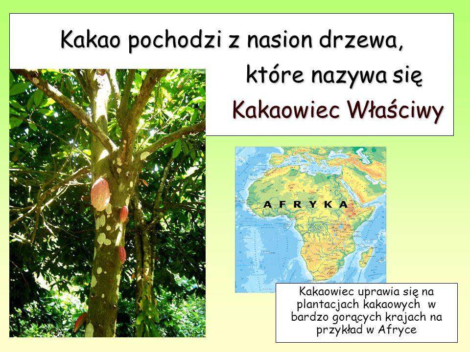 Kakao pochodzi z nasion drzewa, które nazywa się Kakaowiec Właściwy