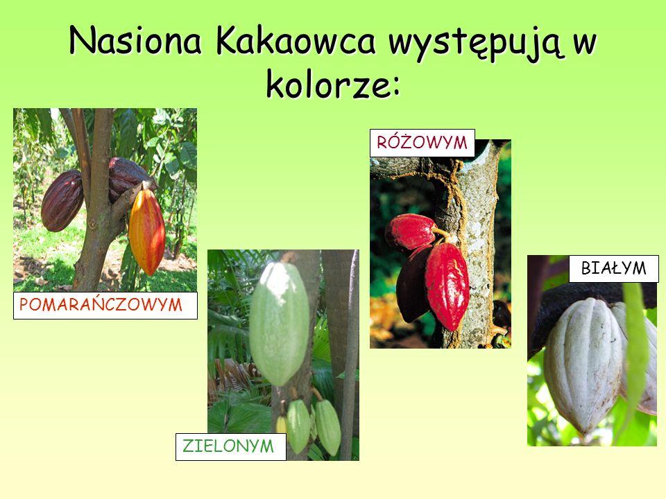 Nasiona Kakaowca występują w kolorze: