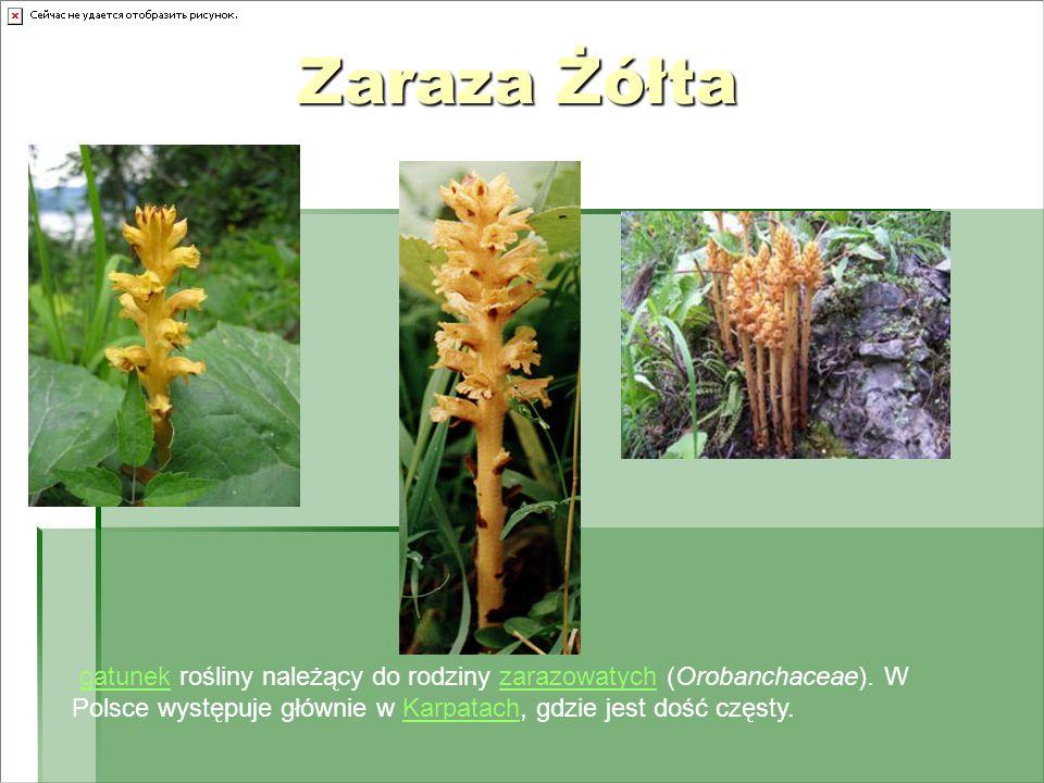 Zaraza Żółta gatunek rośliny należący do rodziny zarazowatych (Orobanchaceae).