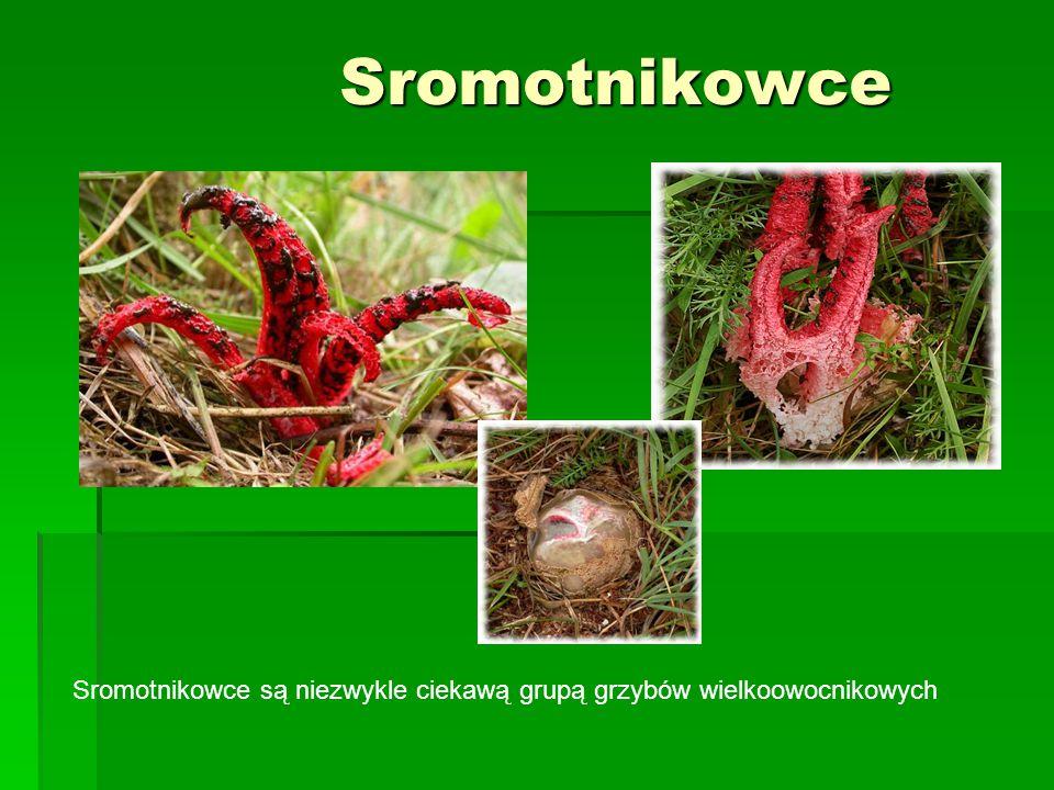 Sromotnikowce Sromotnikowce są niezwykle ciekawą grupą grzybów wielkoowocnikowych