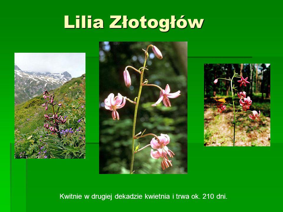 Lilia Złotogłów Kwitnie w drugiej dekadzie kwietnia i trwa ok. 210 dni.