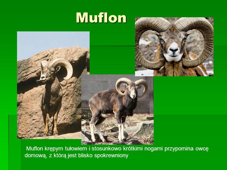 Muflon Muflon krępym tułowiem i stosunkowo krótkimi nogami przypomina owcę domową, z którą jest blisko spokrewniony.