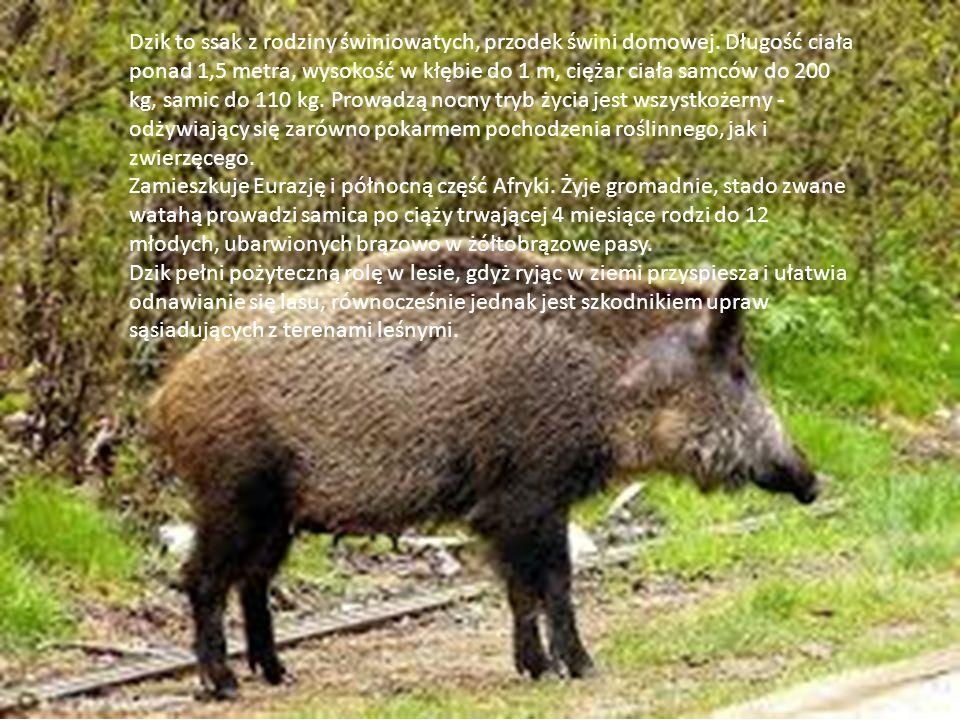Dzik to ssak z rodziny świniowatych, przodek świni domowej