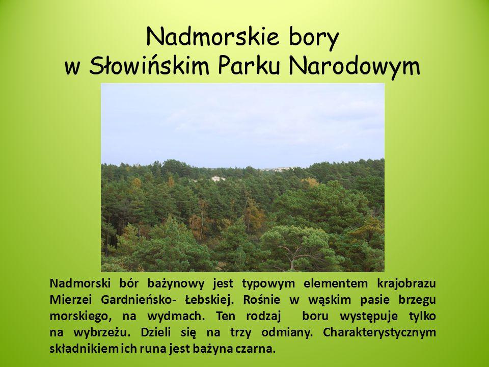Nadmorskie bory w Słowińskim Parku Narodowym