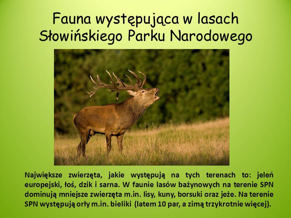 Fauna występująca w lasach Słowińskiego Parku Narodowego