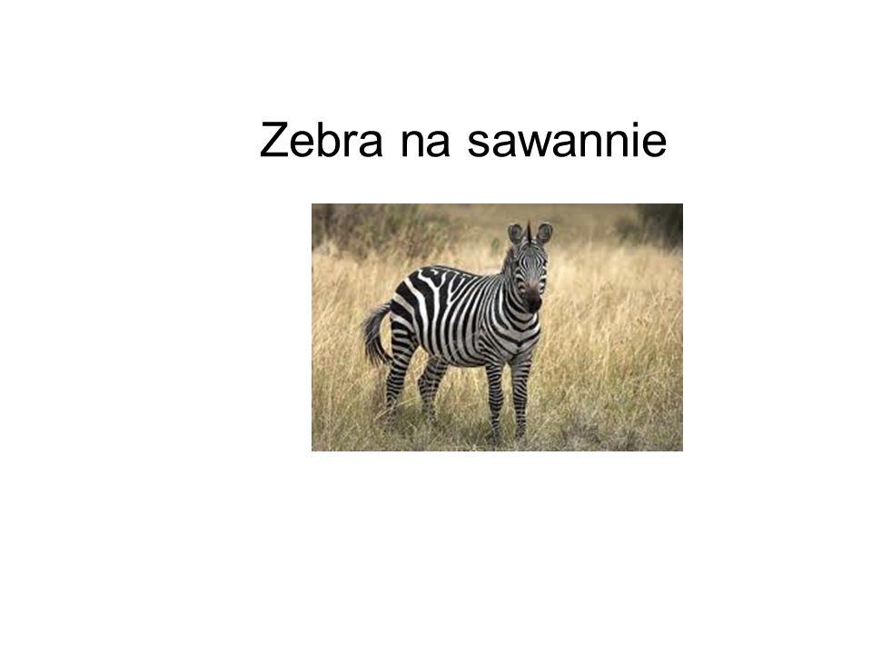 Zebra na sawannie