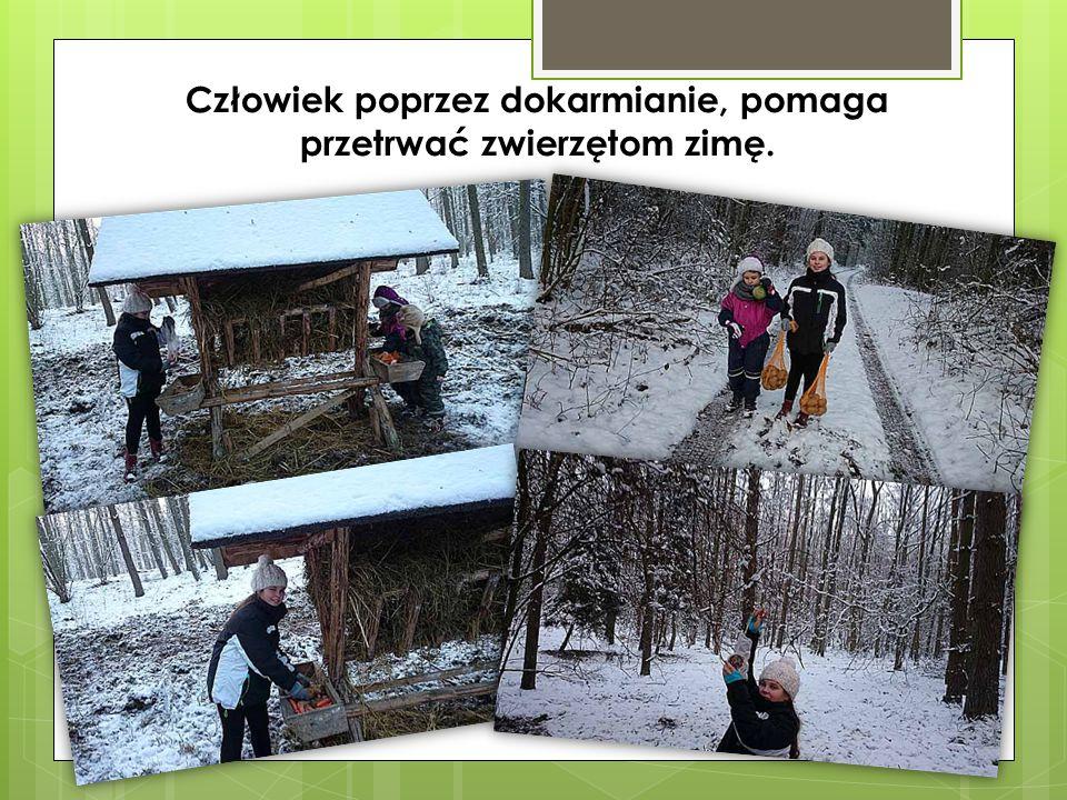 Człowiek poprzez dokarmianie, pomaga przetrwać zwierzętom zimę.