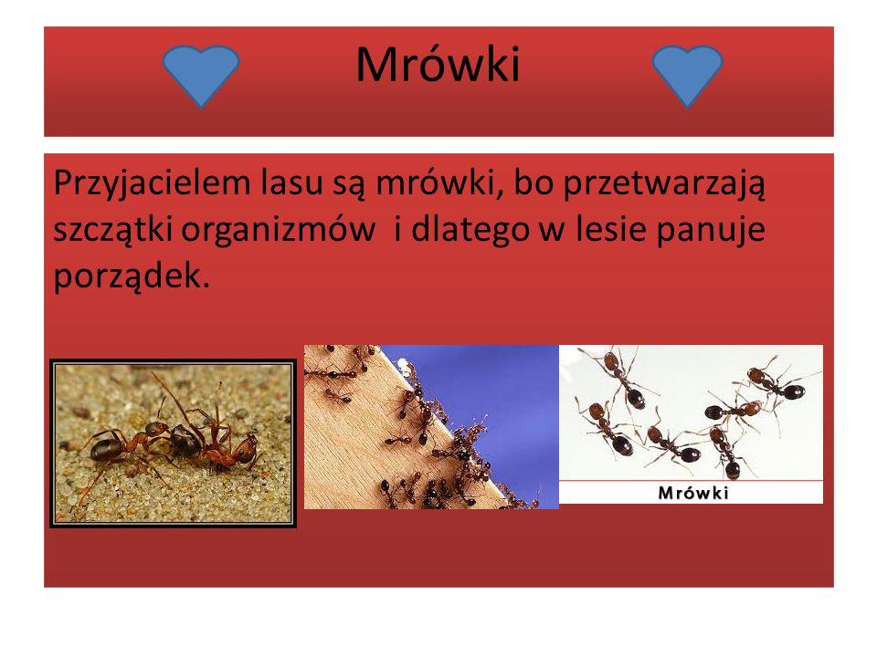Mrówki Przyjacielem lasu są mrówki, bo przetwarzają szczątki organizmów i dlatego w lesie panuje porządek.