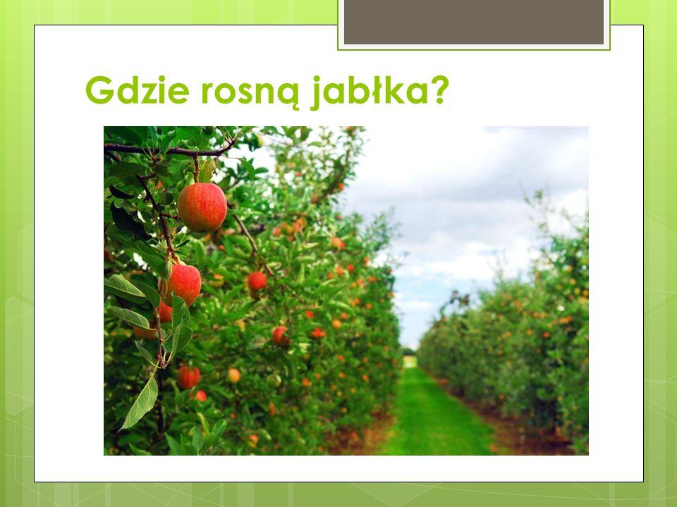 Gdzie rosną jabłka
