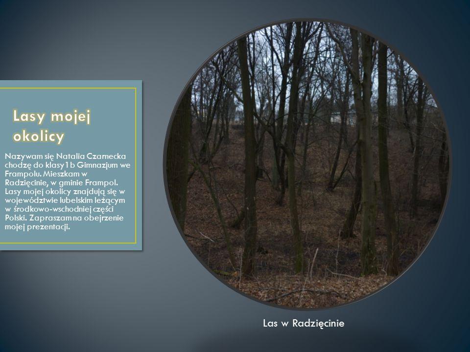 Lasy mojej okolicy Las w Radzięcinie
