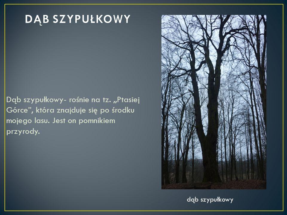 DĄB SZYPUŁKOWY Dąb szypułkowy- rośnie na tz. ,,Ptasiej Górce , która znajduje się po środku mojego lasu. Jest on pomnikiem przyrody.