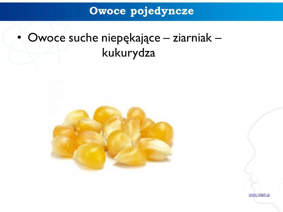 Owoce suche niepękające – ziarniak – kukurydza