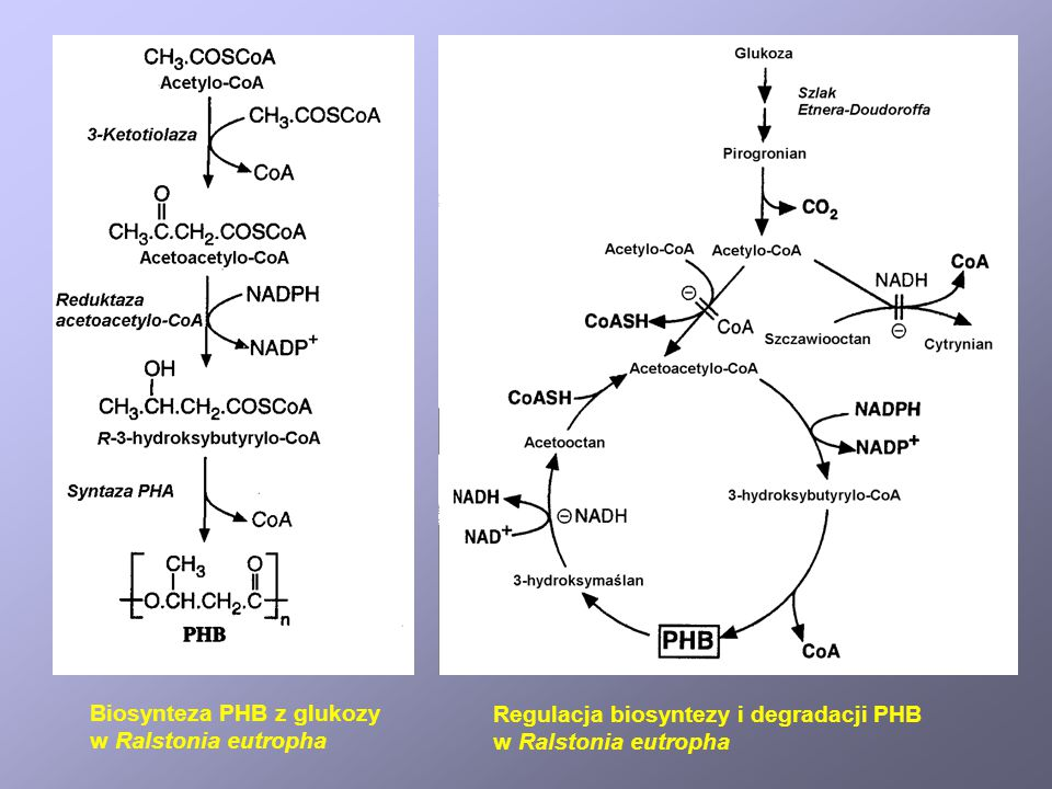 Biosynteza PHB z glukozy