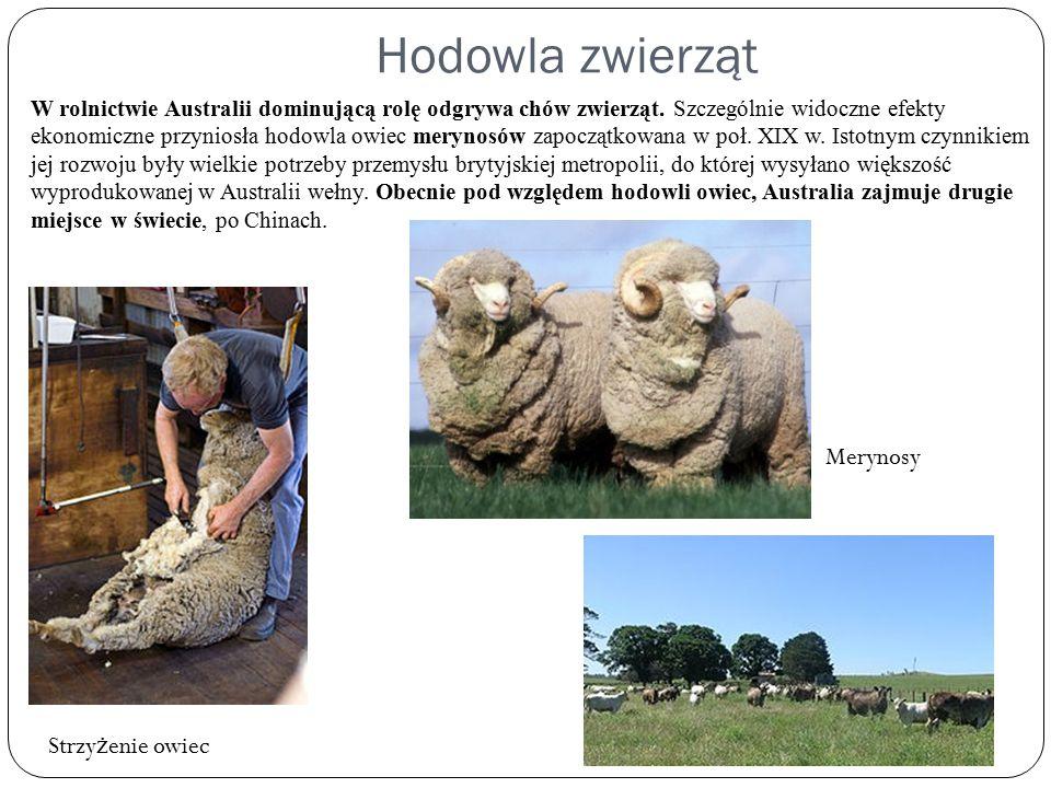 Hodowla zwierząt Merynosy Strzyżenie owiec