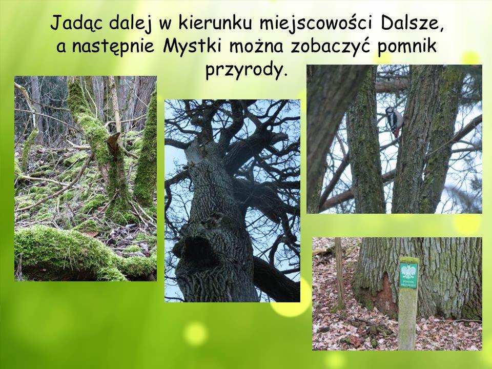 Jadąc dalej w kierunku miejscowości Dalsze, a następnie Mystki można zobaczyć pomnik przyrody.