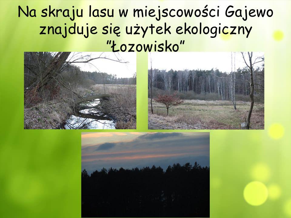 Na skraju lasu w miejscowości Gajewo znajduje się użytek ekologiczny Łozowisko