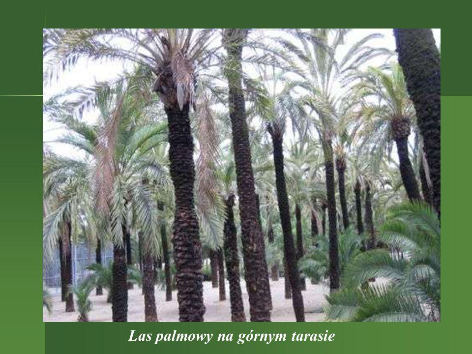 Las palmowy na górnym tarasie