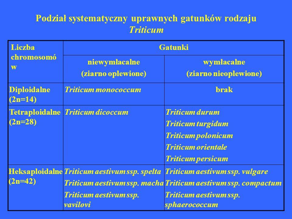 Podział systematyczny uprawnych gatunków rodzaju Triticum