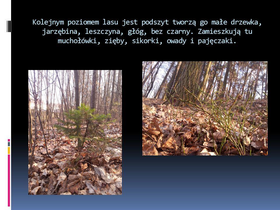 Kolejnym poziomem lasu jest podszyt tworzą go małe drzewka, jarzębina, leszczyna, głóg, bez czarny.