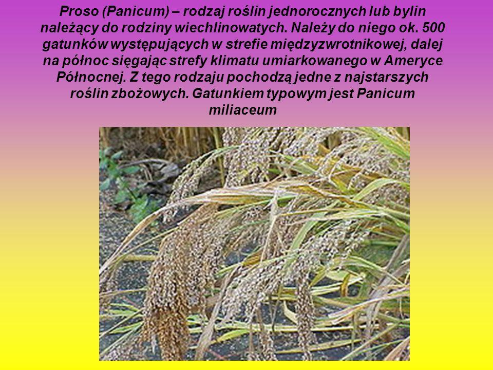 Proso (Panicum) – rodzaj roślin jednorocznych lub bylin należący do rodziny wiechlinowatych.