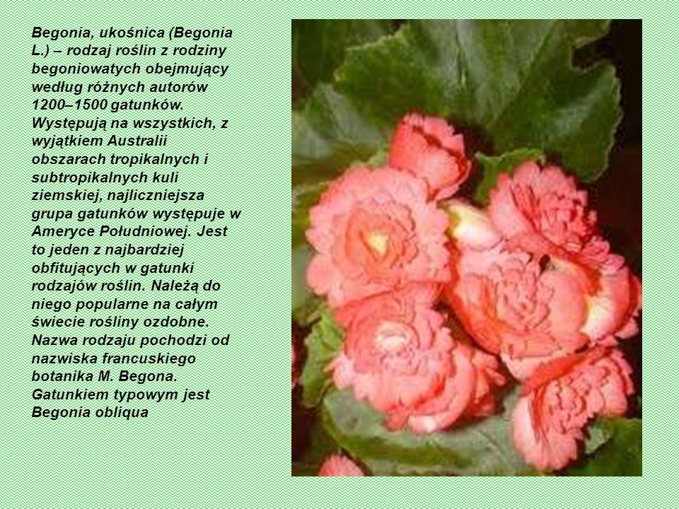 Begonia, ukośnica (Begonia L