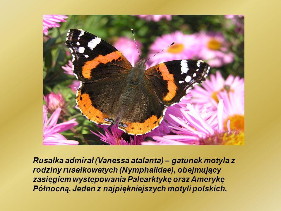 Rusałka admirał (Vanessa atalanta) – gatunek motyla z rodziny rusałkowatych (Nymphalidae), obejmujący zasięgiem występowania Palearktykę oraz Amerykę Północną.