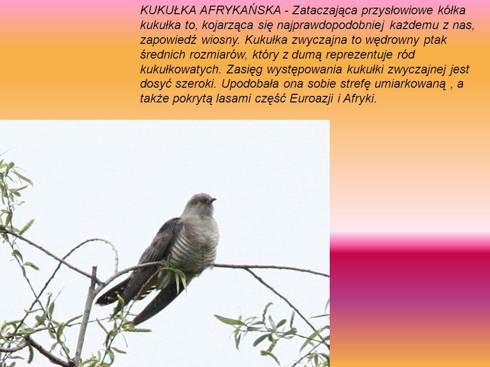 KUKUŁKA AFRYKAŃSKA - Zataczająca przysłowiowe kółka kukułka to, kojarząca się najprawdopodobniej każdemu z nas, zapowiedź wiosny.