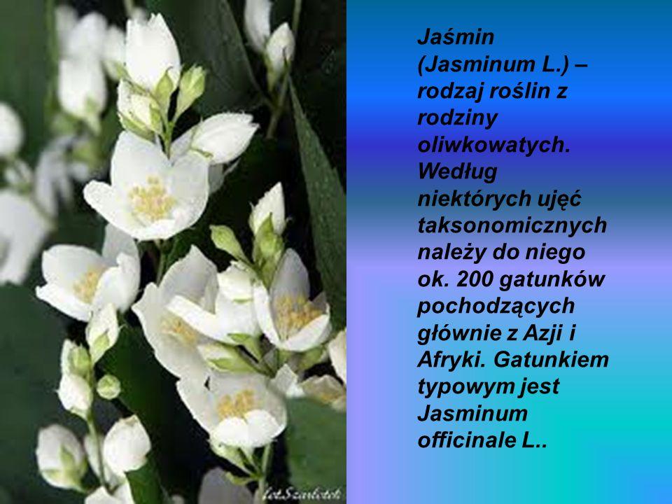 Jaśmin (Jasminum L. ) – rodzaj roślin z rodziny oliwkowatych