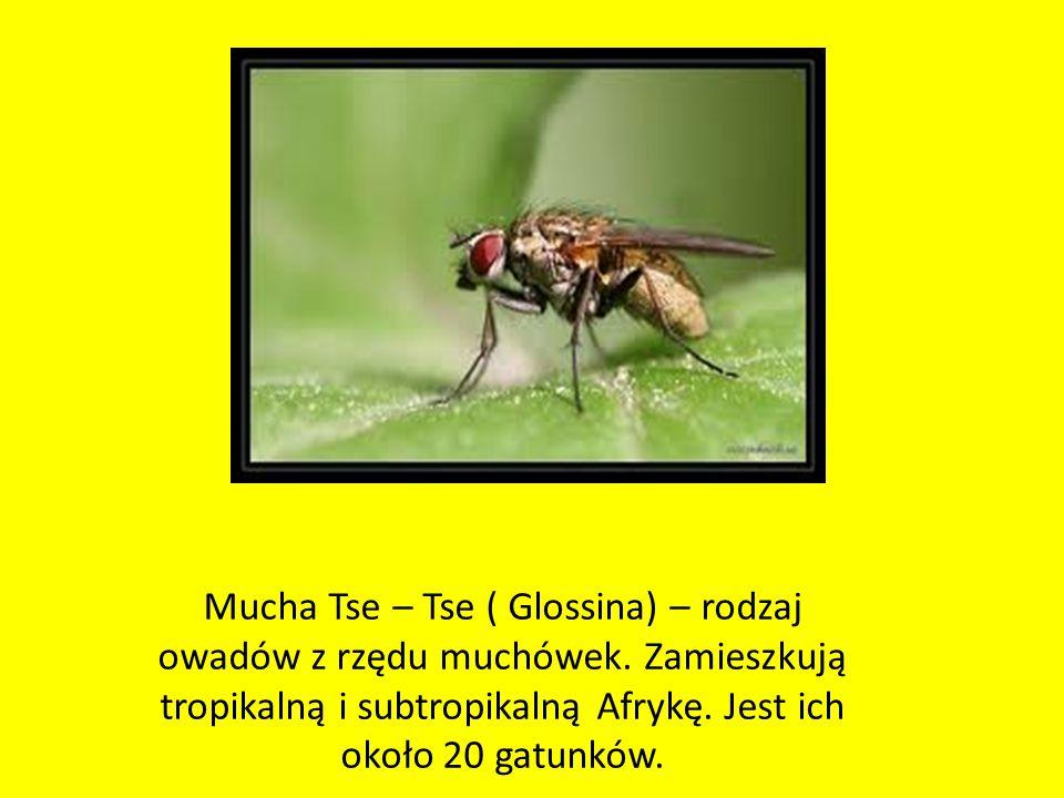 Mucha Tse – Tse ( Glossina) – rodzaj owadów z rzędu muchówek
