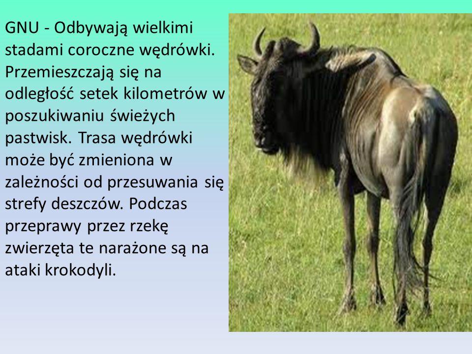 GNU - Odbywają wielkimi stadami coroczne wędrówki