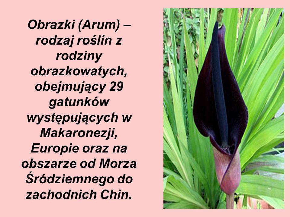 Obrazki (Arum) – rodzaj roślin z rodziny obrazkowatych, obejmujący 29 gatunków występujących w Makaronezji, Europie oraz na obszarze od Morza Śródziemnego do zachodnich Chin.