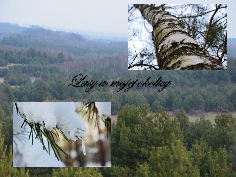 Lasy w mojej okolicy 1