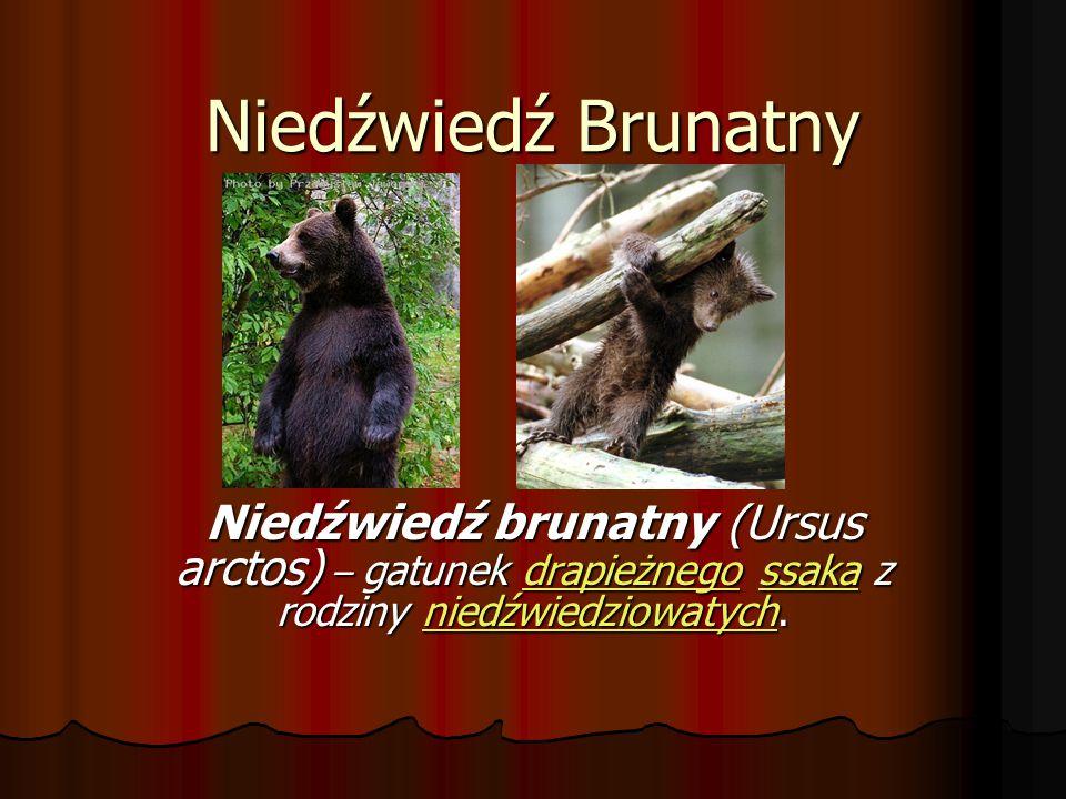 Niedźwiedź Brunatny Niedźwiedź brunatny (Ursus arctos) – gatunek drapieżnego ssaka z rodziny niedźwiedziowatych.