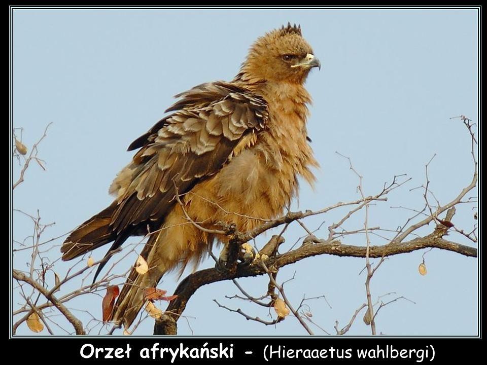 Orzeł afrykański - (Hieraaetus wahlbergi)